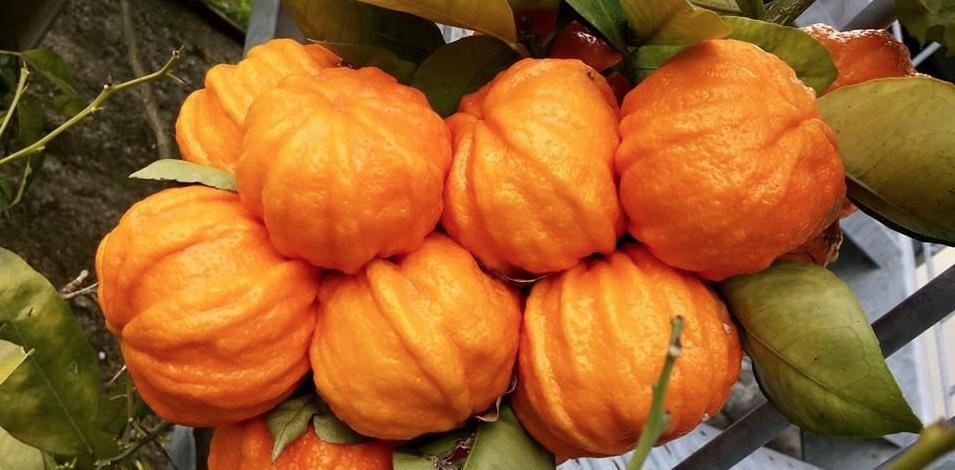 Arancio amaro per dimagrire